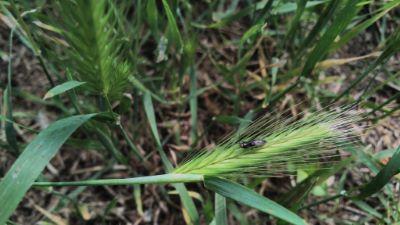 Trigo Silvestre - Triticum Vulgare