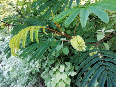 Albizia  - Paraserianthes lophantha (Willd.) I.C.Nielsen
