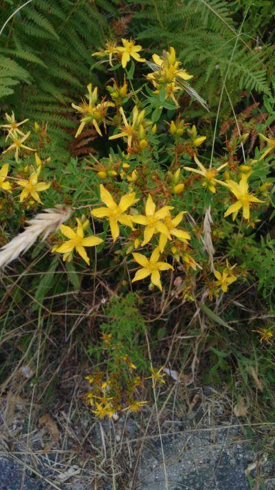 Herba de San Xoan - Hypericum perforatum
