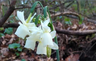 Campanarios - Narcissus triandrus