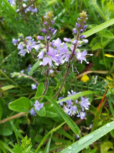 Herba da triaca - Veronica officinalis L.