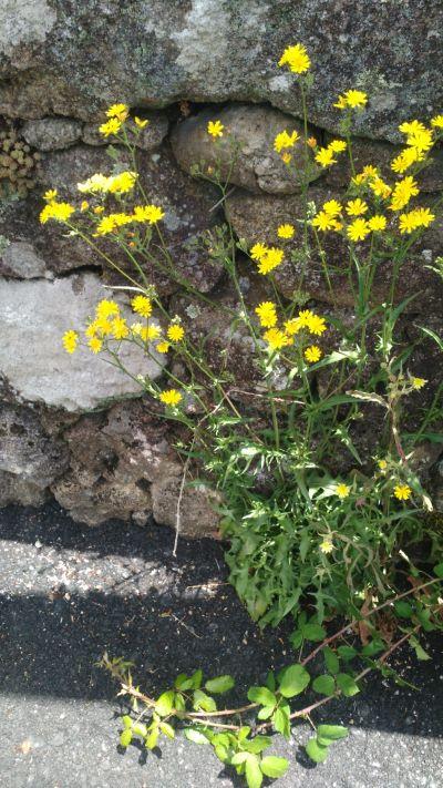 Taraxacón de outono - leontodon autumnalis