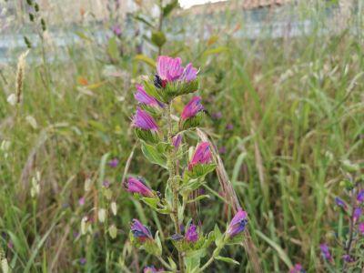 Viboreira - Echium vulgare