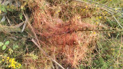 Barbas de Raposo - Cuscuta epithymum