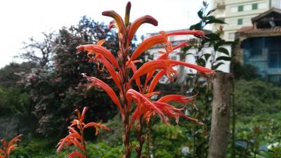 Capuchino laranxa - Chasmanthe floribunda (Salisb.) N.E.Br.