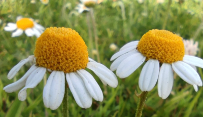 Camomila - Chamaemelum nobile (L.) All.