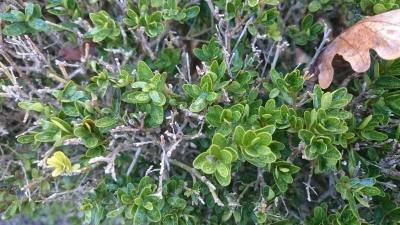 Buxo - Buxus sempervirens