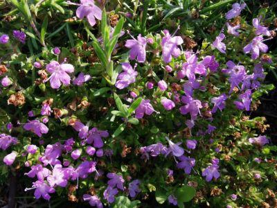 Tomelo - Thymus praecox