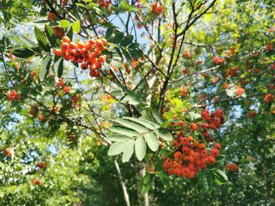 Capudre - Sorbus aucuparia