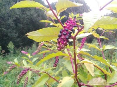 Tintureira - Phytolacca americana