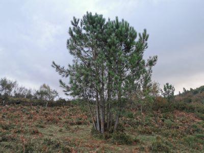 Piñeiro bravo - Pinus pinaster