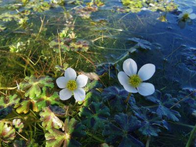 Ouca  - Ranunculus ololeucos