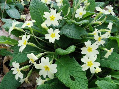 Primavera  - Primula vulgaris