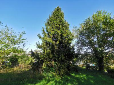 Abeto rubio - Picea abies