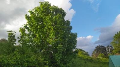 Pradairo - Acer pseudoplatanus L.