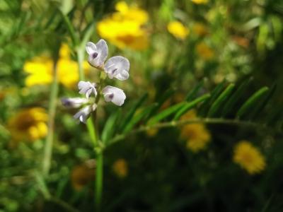 Herba da fame - Vicia hirsuta