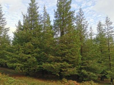 Sequoia común - Sequoia sempervirens