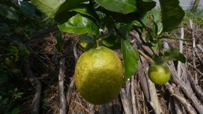 Limoeiro - Citrus x limon