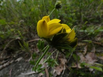 Corniños - Lotus corniculatus
