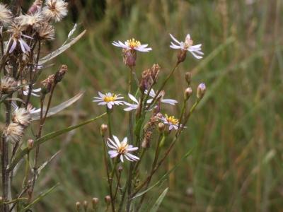 Estrela das xunqueiras - Tripolium pannonicum