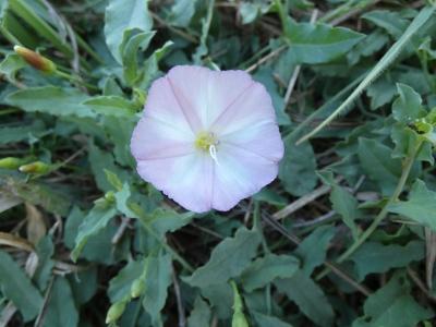 Corriola menor - Convolvulus arvensis