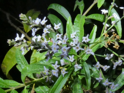 Herba luísa - Aloysia citrodora