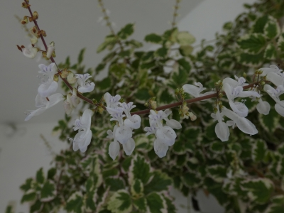 Incenso - Plectranthus coleoides